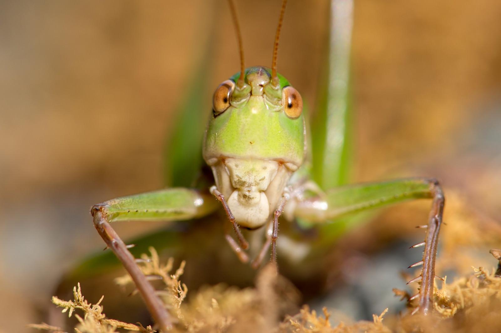 「キリギリスの正面顔」の写真