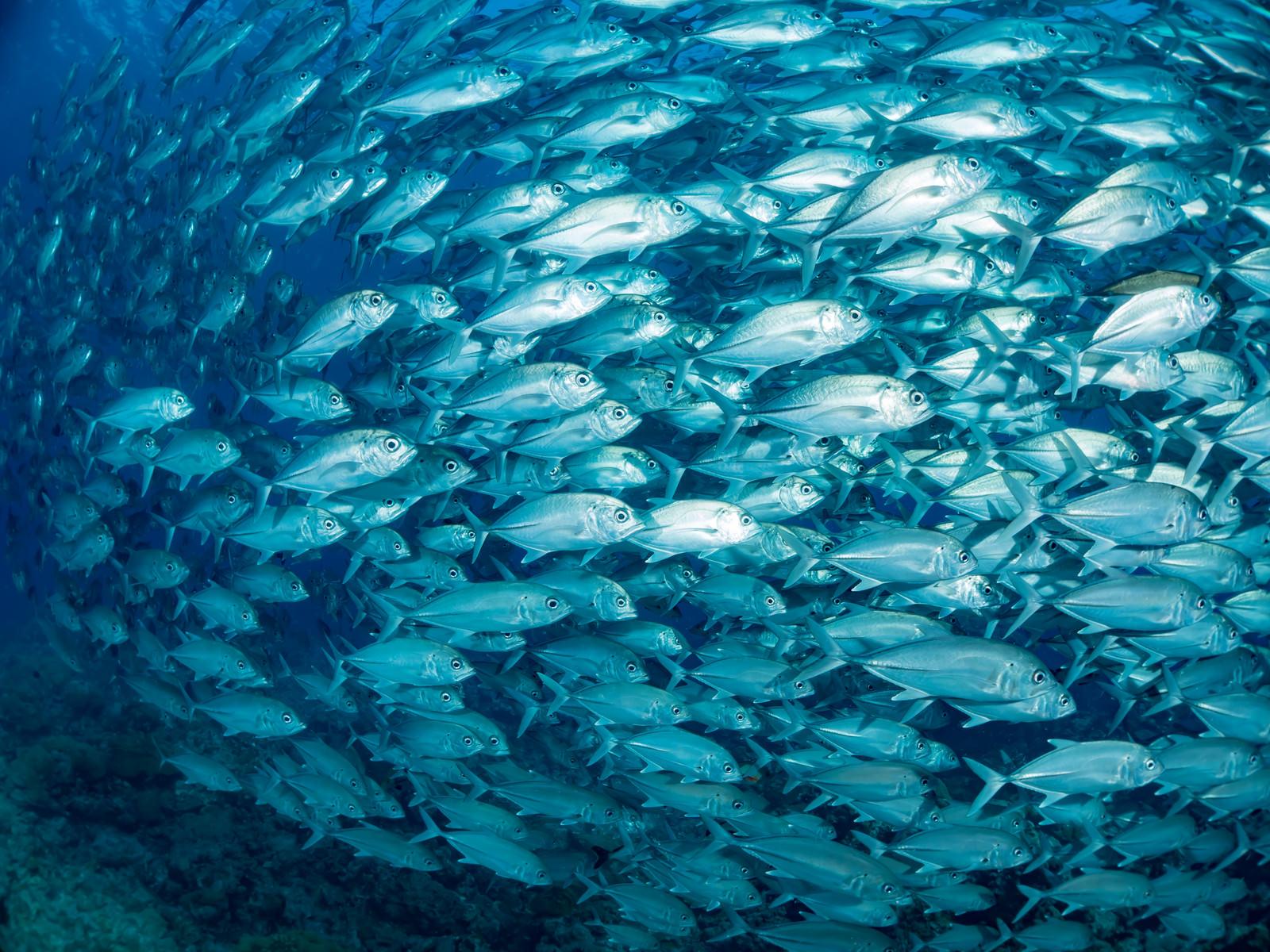 「迫るギンガメアジの群れ」の写真