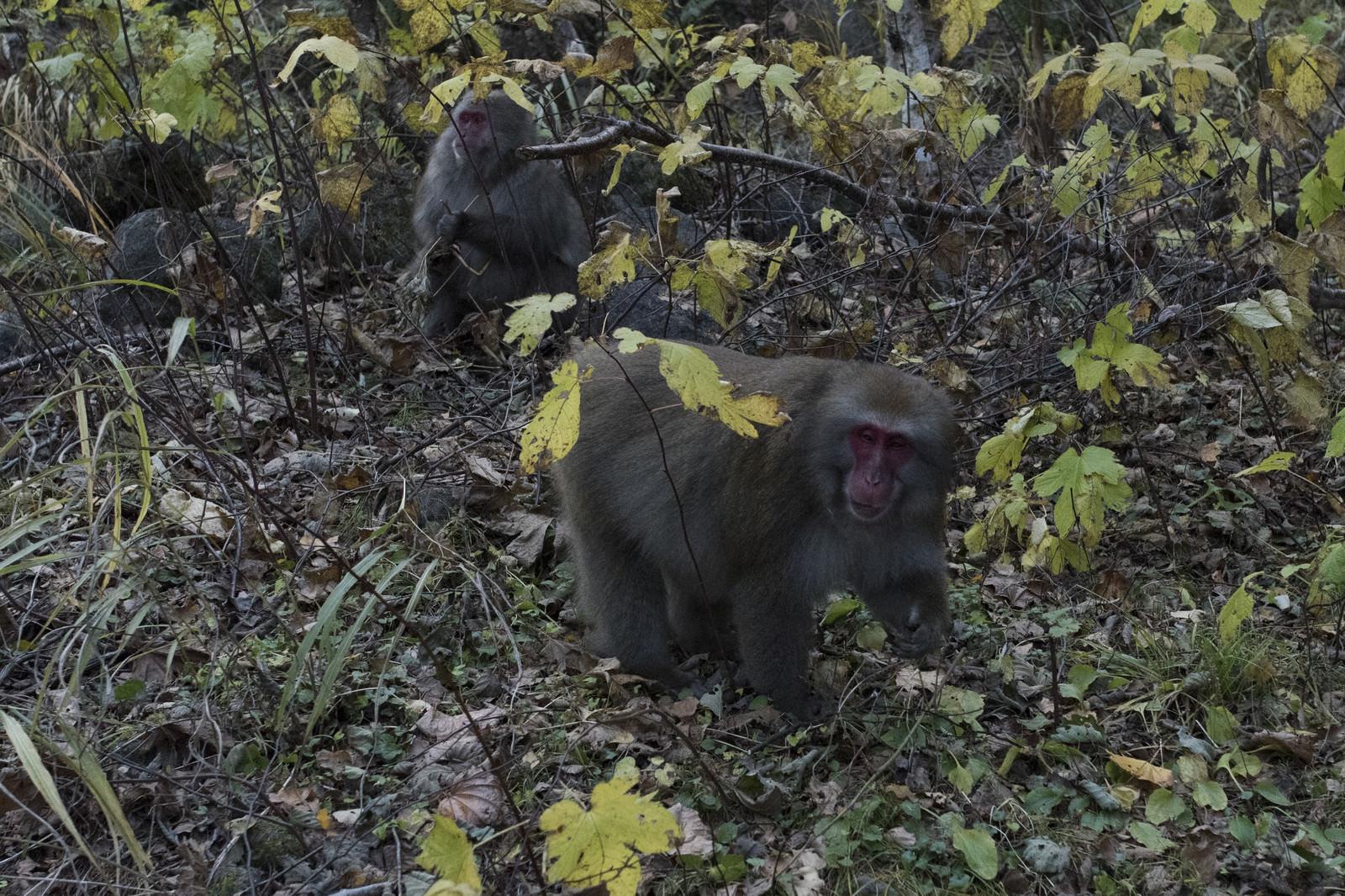 「焼岳中腹にいた猿」の写真