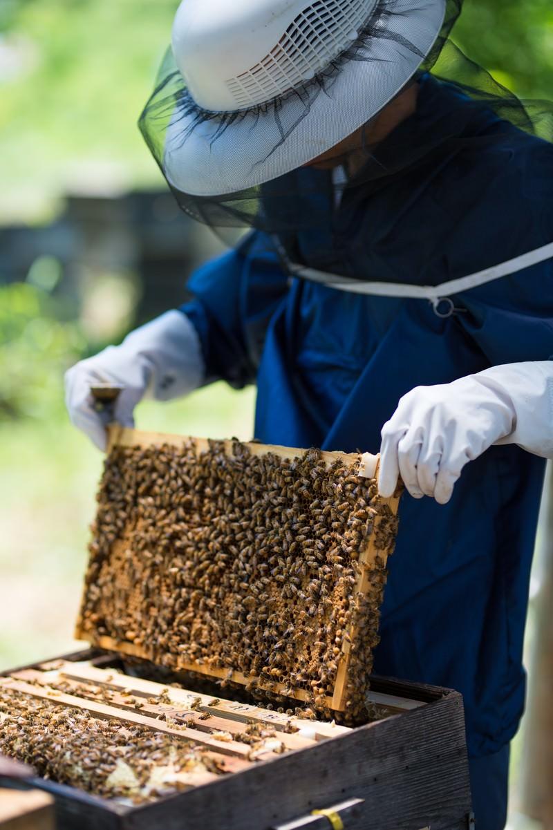 「防護ネット帽子をかぶって蜜蜂の巣板を確認する」の写真