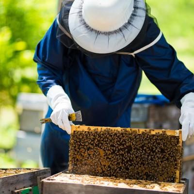 巣板いっぱいの蜜蜂の写真