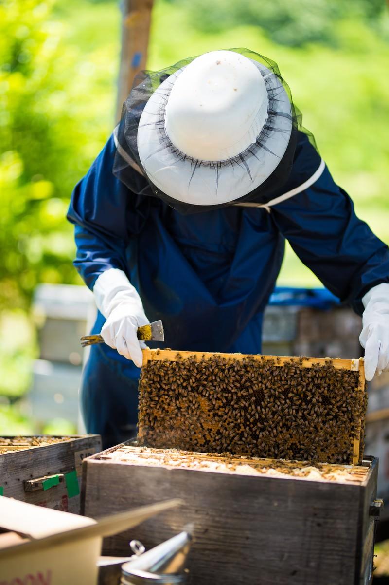「巣板いっぱいの蜜蜂」の写真