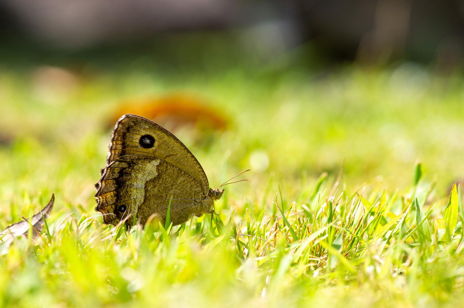 「ジャノメチョウ」の写真