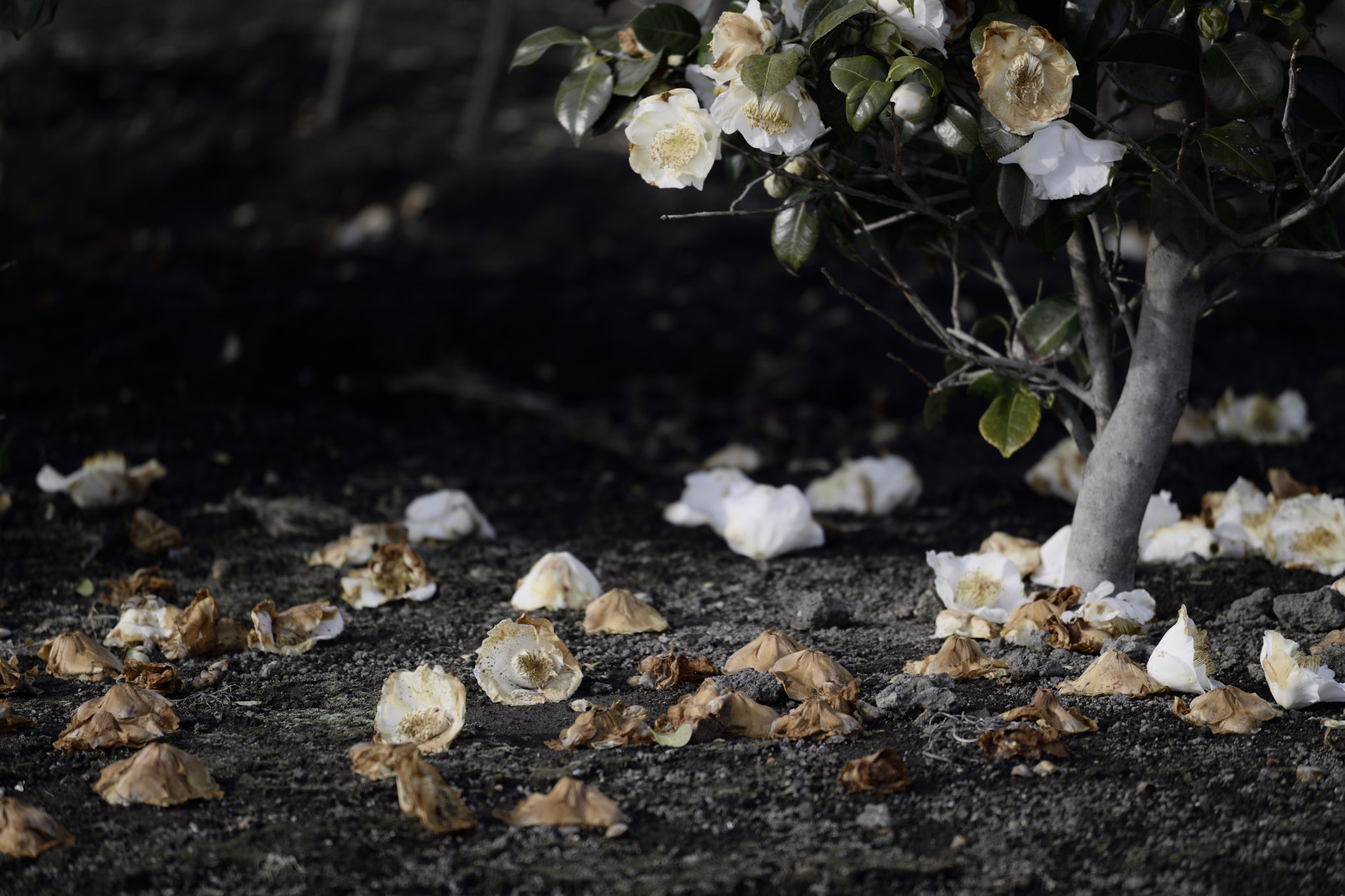 「地面に落ちる椿の花」の写真