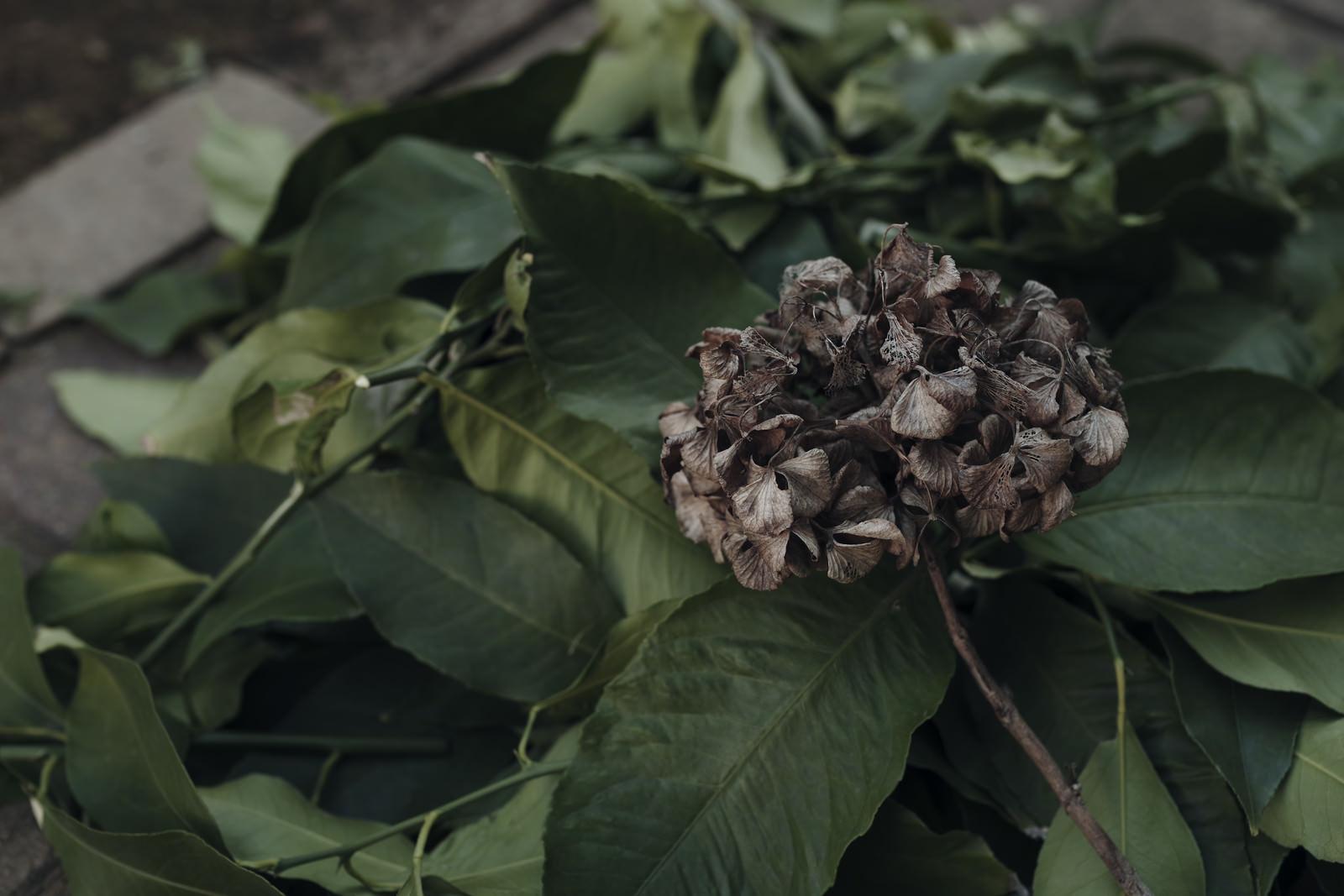 「枯れたアジサイとレモンの葉」の写真