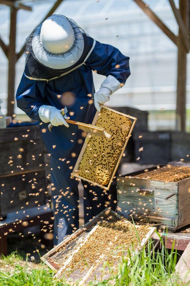 巣板をメンテする養蜂家の写真