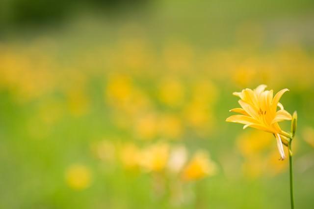 キスゲが可憐に咲く初夏の写真
