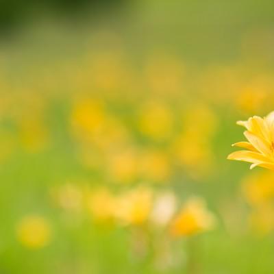 「キスゲが可憐に咲く初夏」の写真素材