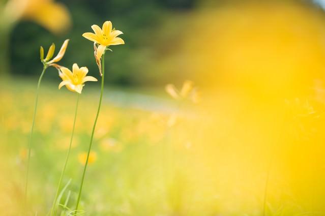 黄色で埋め尽くされたキスゲ畑の写真