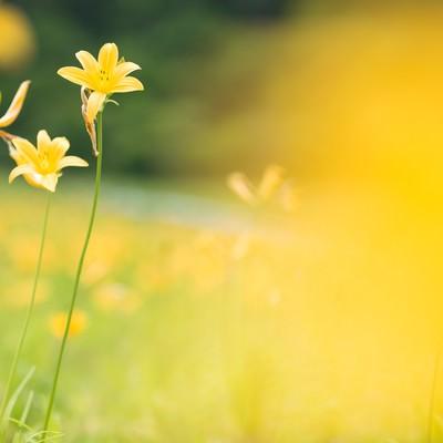 「黄色で埋め尽くされたキスゲ畑」の写真素材