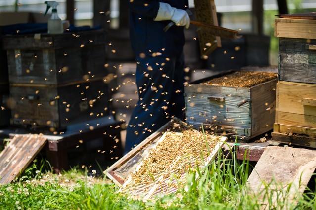 飛び交うミツバチと共に仕事する養蜂家の写真