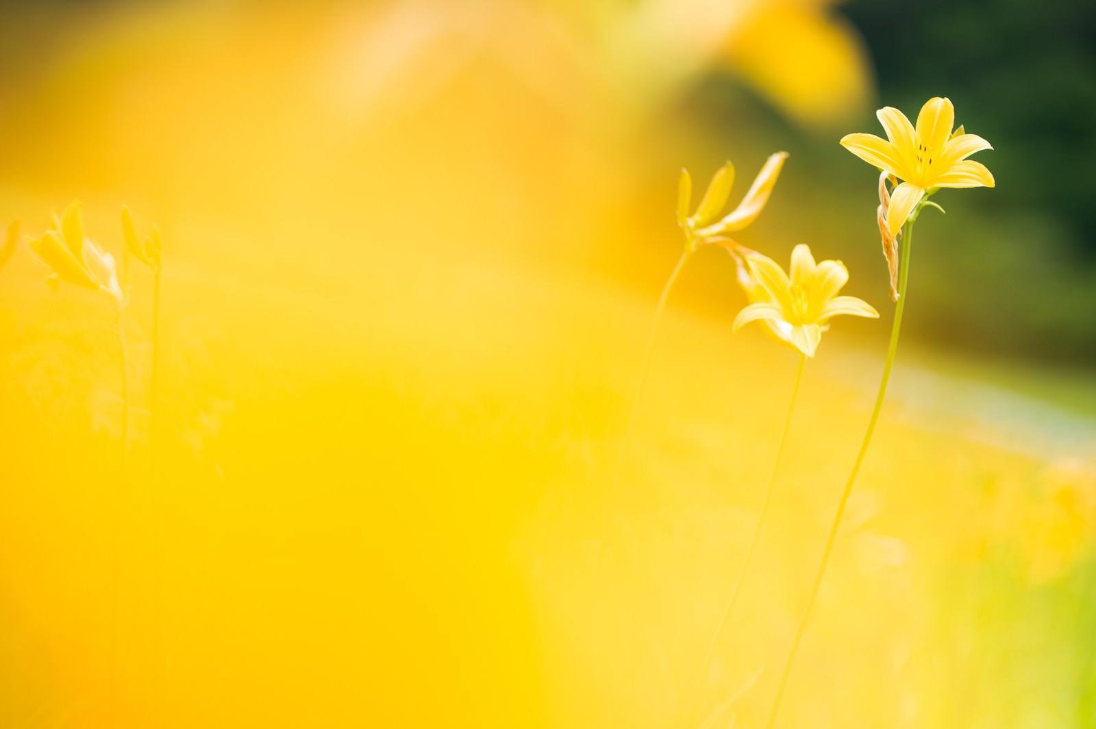 「キスゲの花」の写真