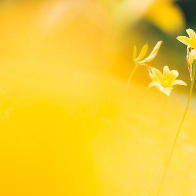 「キスゲの花」の写真素材