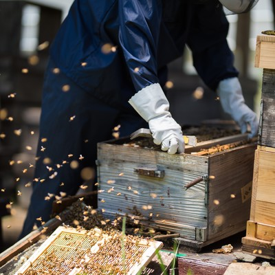 「飛び交うミツバチの中で作業をする養蜂家」の写真素材