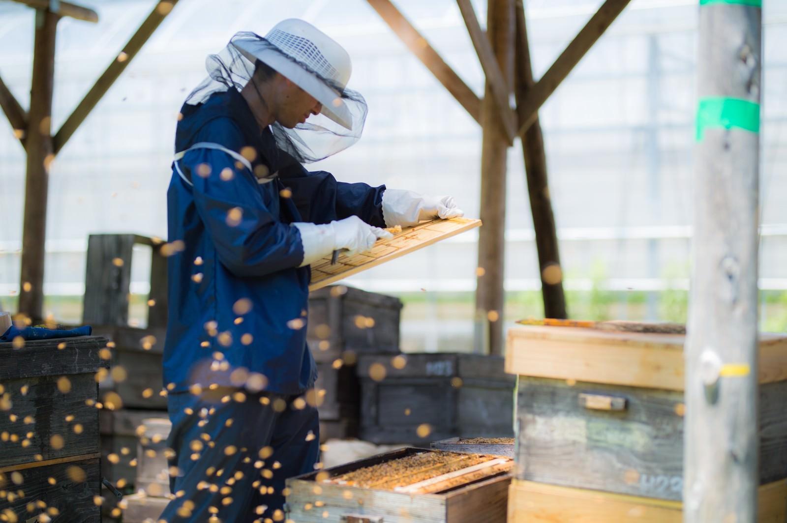 「ミツバチに囲まれながら作業する養蜂家」の写真