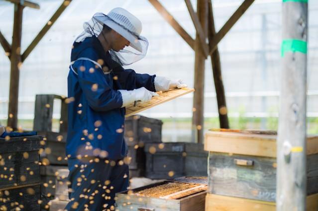 ミツバチに囲まれながら作業する養蜂家の写真
