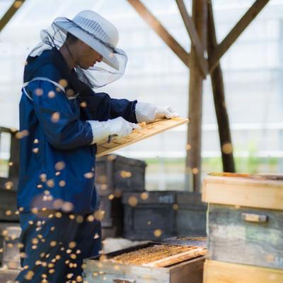 「ミツバチに囲まれながら作業する養蜂家」の写真素材