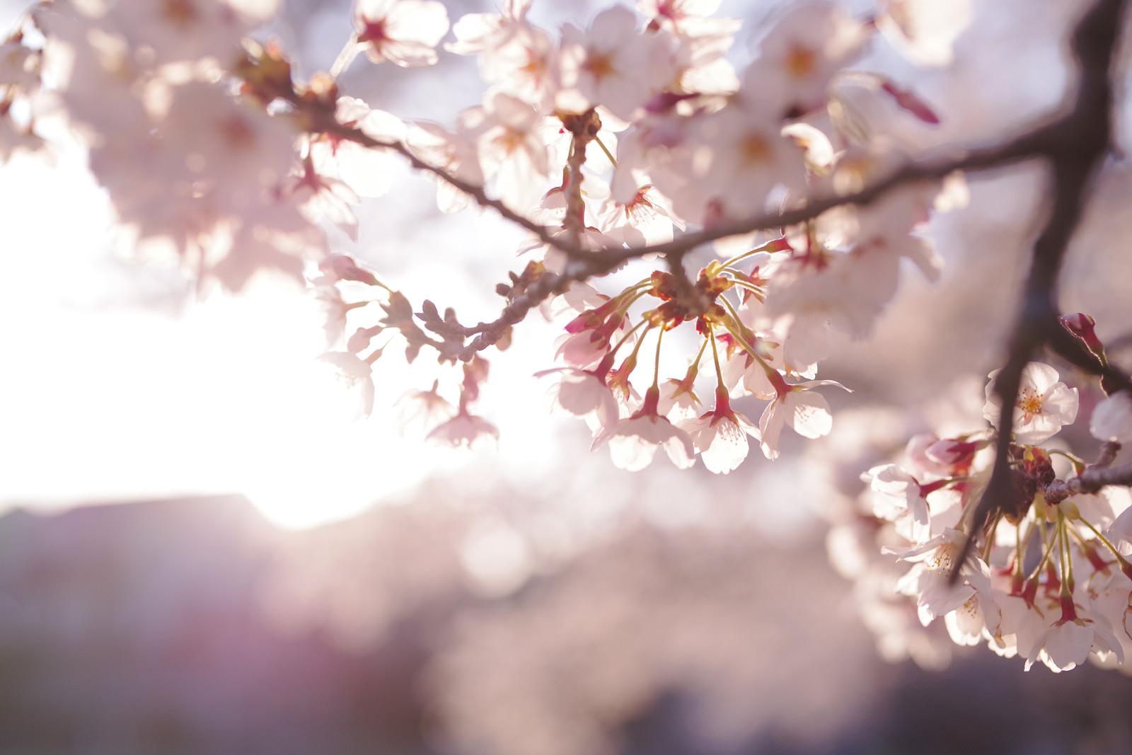 「逆光に輝くソメイヨシノ」の写真
