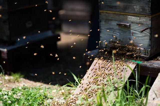 巣箱の入口に集まる無数の蜜蜂の写真