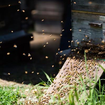 「巣箱の入口に集まる無数の蜜蜂」の写真素材