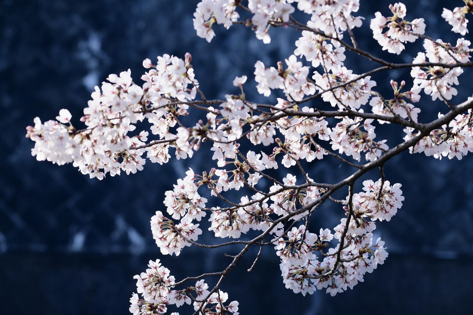 「青い影の上に浮かび上がるピンクの桜」の写真