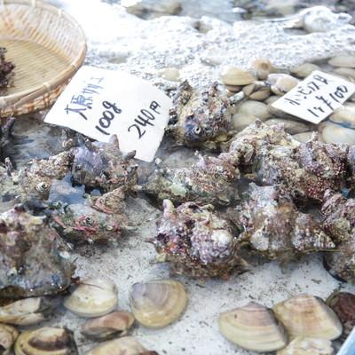 「いすみ市大原漁港で採れたサザエ」の写真素材