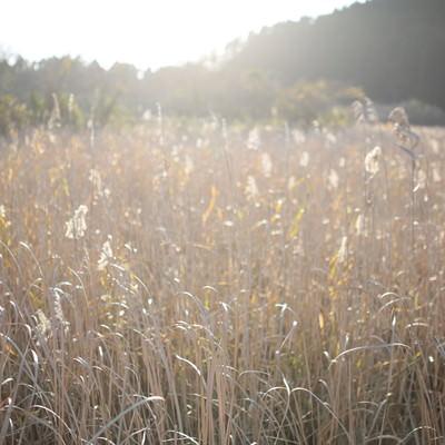 「トンボの沼の水生植物(千葉県いすみ市)」の写真素材