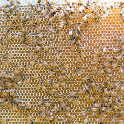 「ハチミツを熟成させているところ」の写真素材