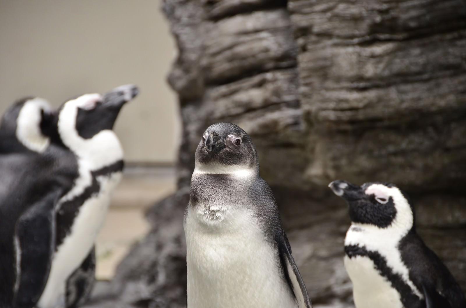 「群れの長っぽいペンギン」の写真