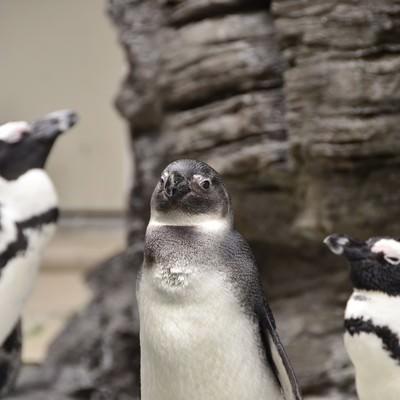 群れの長っぽいペンギンの写真