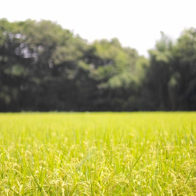 「夏の田んぼと稲」の写真素材