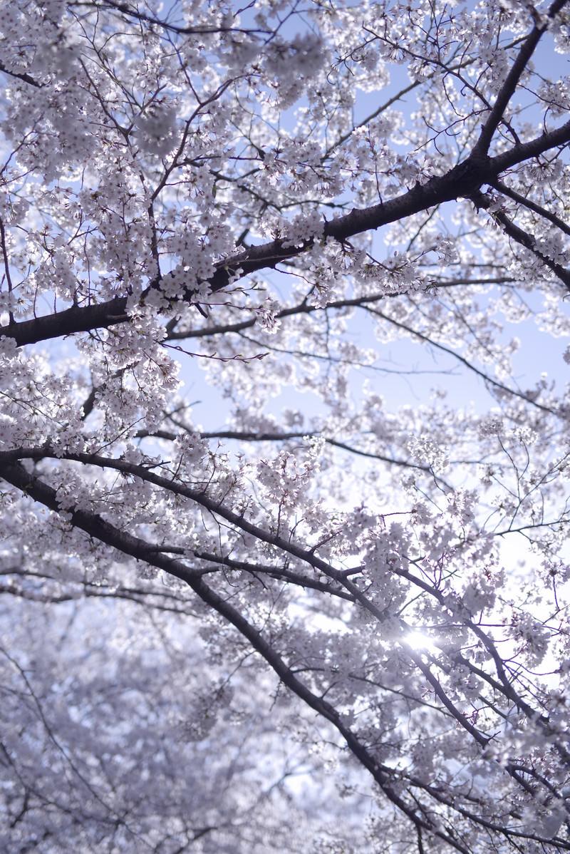 「さわやかな朝日に輝くソメイヨシノ」の写真