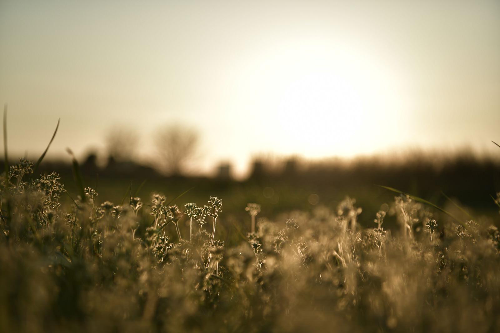 「ドラマチックな夕日と足元の雑草」の写真