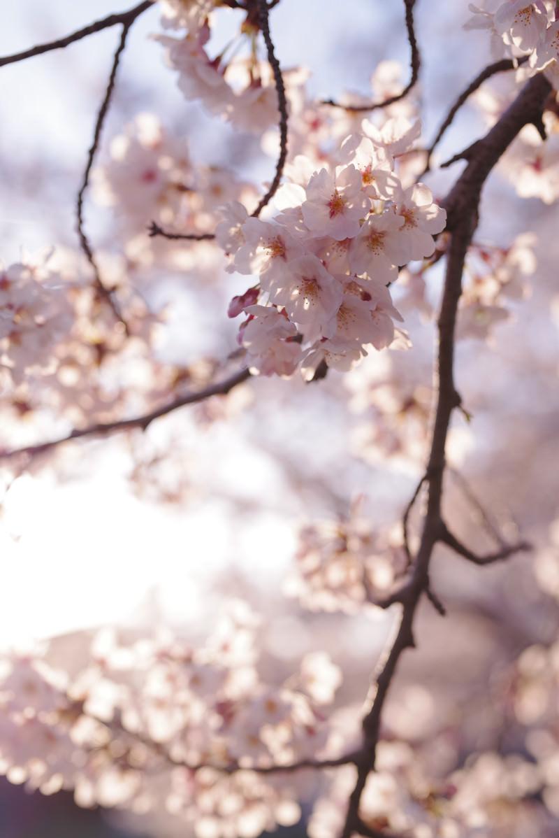 「優しい色の夕日に染まる桜の花」の写真