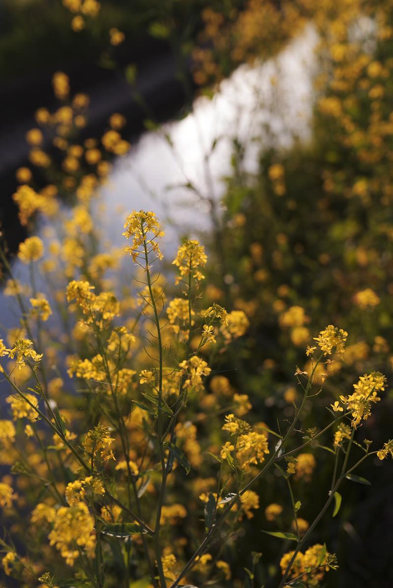 「午後の夕日に染まる菜の花」の写真