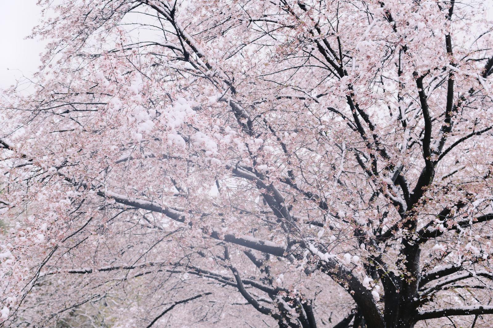 「吹雪の中で耐える桜」の写真