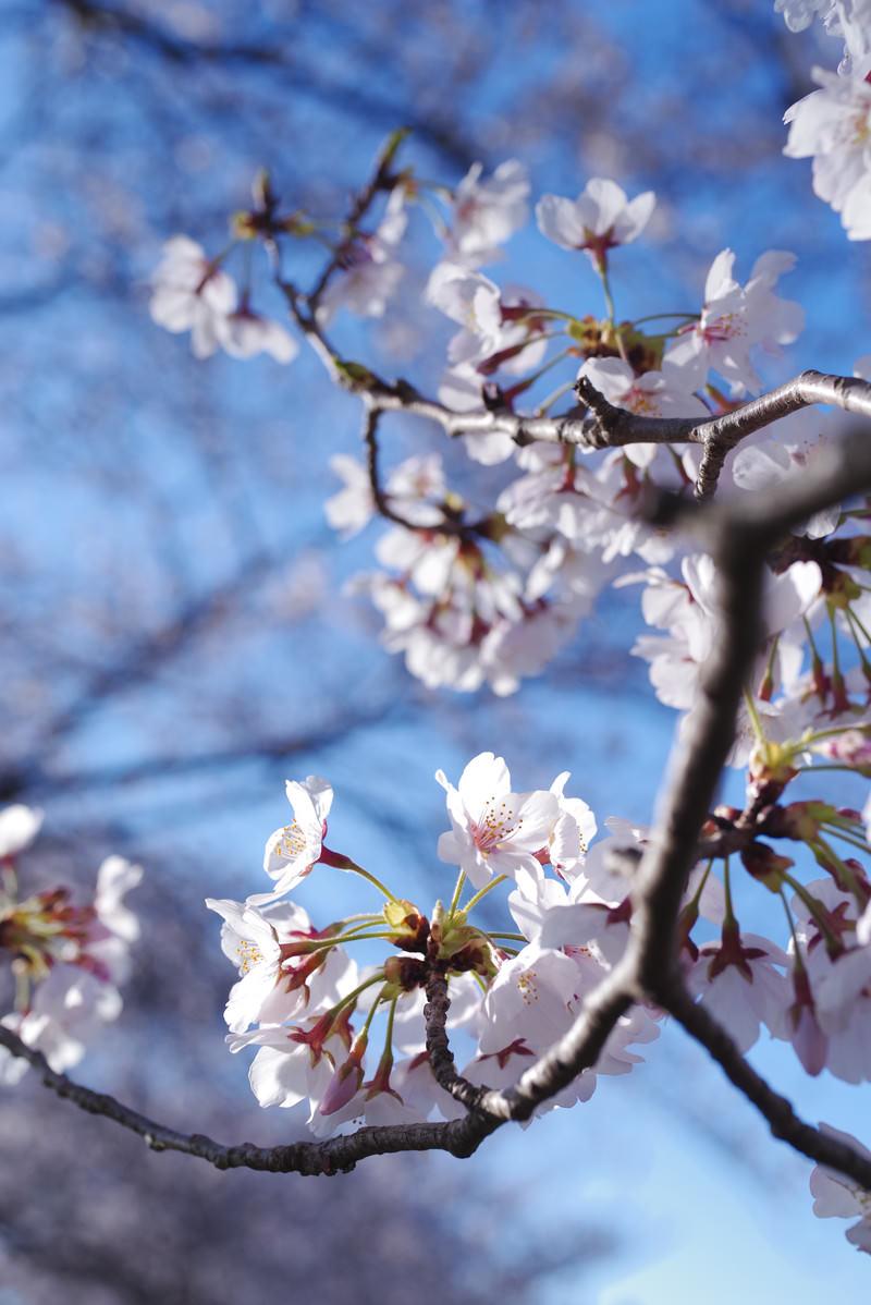 「咲きたてのソメイヨシノと青空」の写真