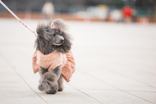 お散歩中のプードルの写真