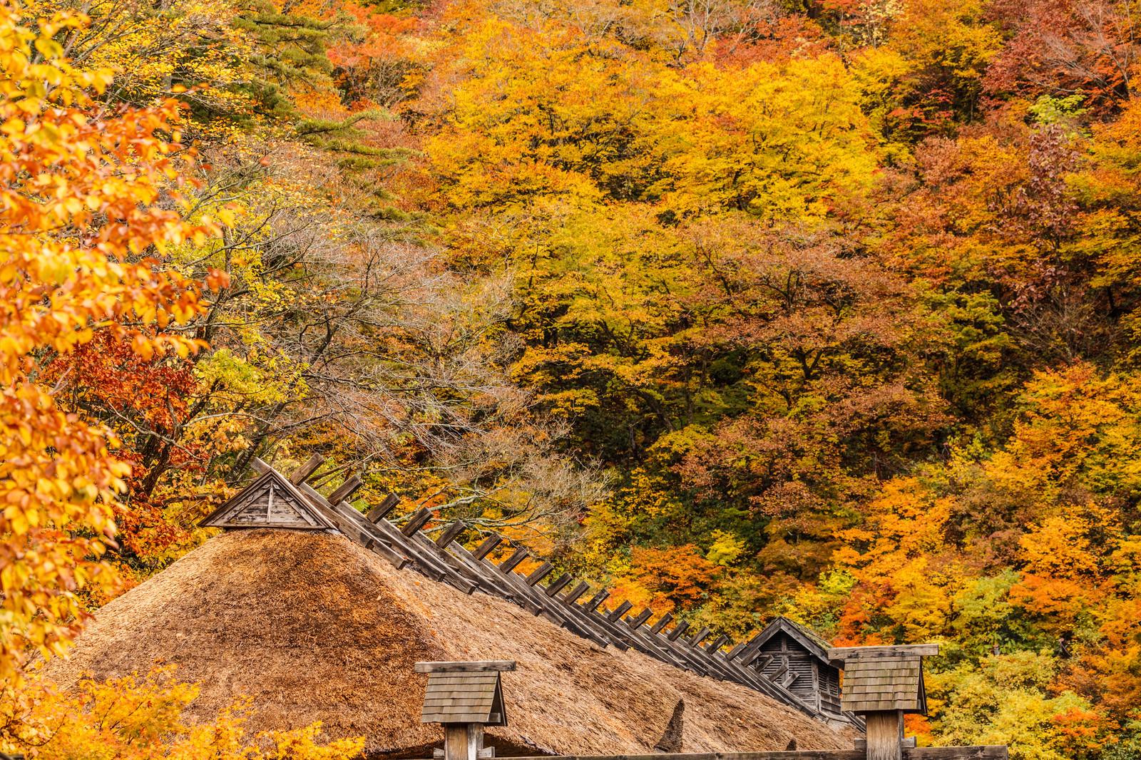 「黄葉と茅葺屋根」の写真