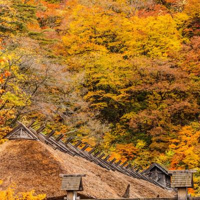 黄葉と茅葺屋根の写真