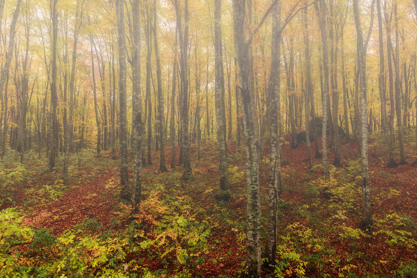 「落葉したブナ林落葉したブナ林」のフリー写真素材を拡大