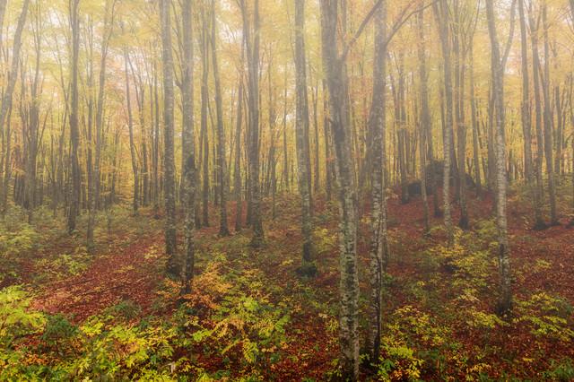 落葉したブナ林の写真