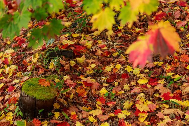 落葉(紅葉の季節)の写真
