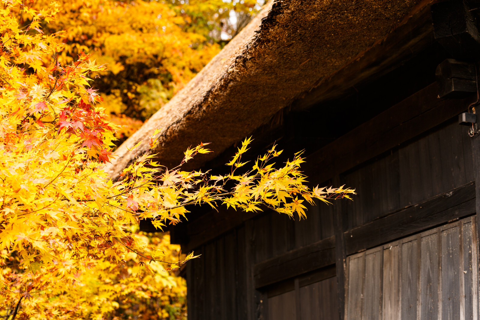 「茅葺屋根と黄色の紅葉茅葺屋根と黄色の紅葉」のフリー写真素材を拡大