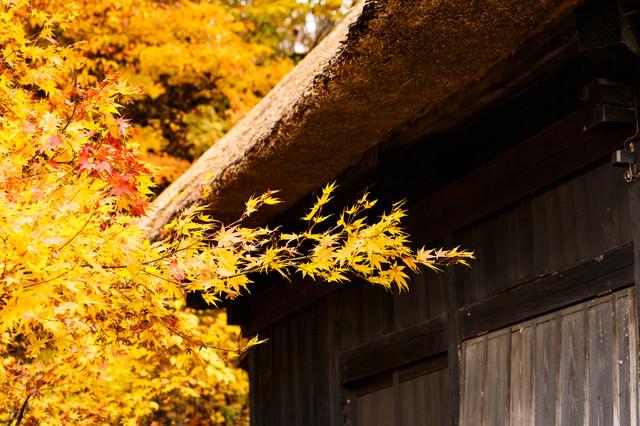 茅葺屋根と黄葉の写真