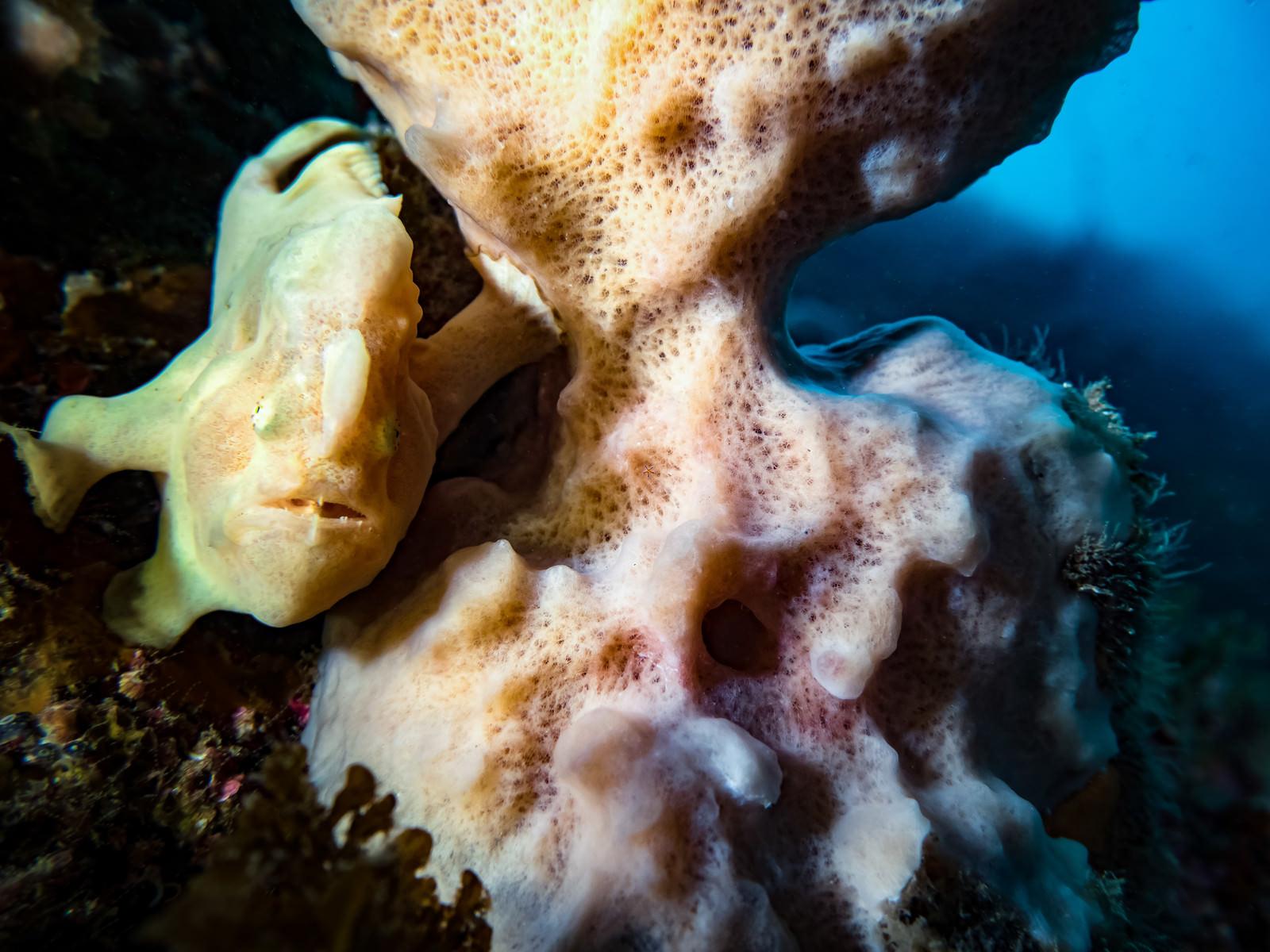 「珊瑚の陰に隠れるイロカエルアンコウ」の写真