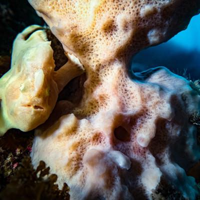 珊瑚の陰に隠れるイロカエルアンコウの写真