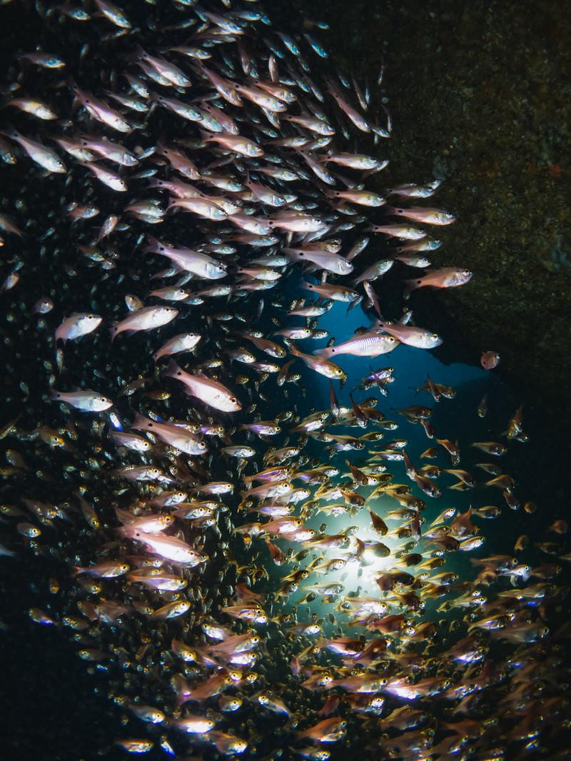 「群れで泳ぐキンメモドキ」の写真