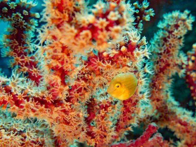 アオサハギとサンゴ礁の写真