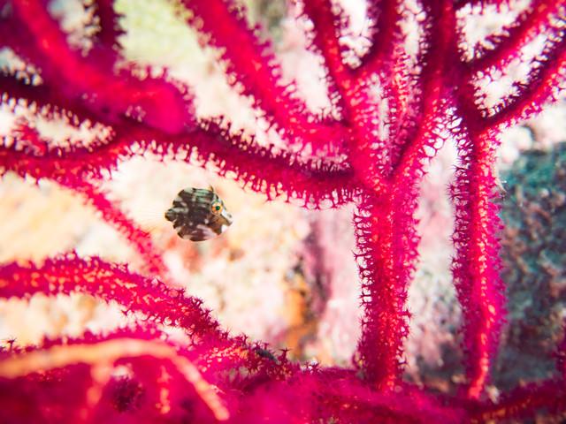 血管のように拡がる珊瑚と泳ぐアオサハギの写真
